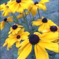 starlakeflowers